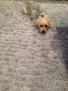 cupertino-Dog-carpet-clean